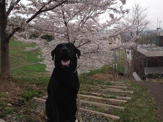 桜の樹.jpg