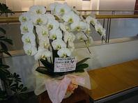 誕生日の胡蝶蘭.jpg