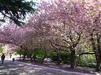 道庁桜.JPG