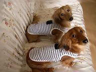 M家の犬が服を・・・.JPG